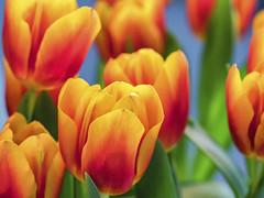 Tulpen (blichb) Tags: 2018 bayern deutschland makro nahaufnahme sony90mmf28macrogoss sonya7rii vase blichb home tulpe