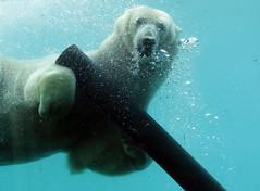 polarbear Blijdorp BB2A5416 (j.a.kok) Tags: ijsbeer beer bear polarbear arctic ursusmaritimus blijdorp animal noordpool northpole mammal zoogdier dier