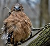 Red Shouldered Hawk - Explore #83 2-8-2018 - Buteo Lineatus - Stillman Nature Center - South Barrington IL (Meridith112) Tags: barrington southbarrington cookcounty il illinois midwest wscf flickrgroupmeetup flickrmeetup westsuburbanchicagoflickrers westernsuburbanchicagoflickr bird birding hawk redshoulderedhawk 2018 february winter nature nikon nikon80400 nikond610 buteolineatus injured explore explored explore282018 bokeh portrait feather droplet droplets birdsofprey raptor