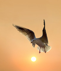 Hovering Over the Sun (adrians_art) Tags: black gull birds filght wings wildlife nature action sky clouds sunrise dawn silhouettes shadows light dark white orange gold yellow red amber