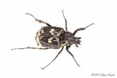 Valgus hemipterus (♂) (Hyönteismies) Tags: coleoptera scarabaeidae valgushemipterus beetle dettk hyönteinen insect kovakuoriainen kuoriainen lehtisarvinen lehtisarviset male pmn selkärangaton studio ötökkä ♂