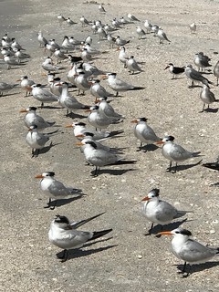 Royal Terns, Skimmers, and friends.