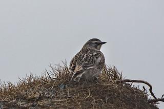 Horned Lark , Cape Spear
