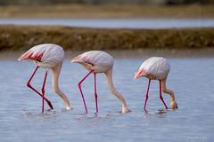 OTRO PUNTO DE VISTA (eldelosreyes) Tags: andalucía algaida aves avesenlibertad bonanza bandadadeflamencos cádiz doñananaturalpark doñana eduardolópezdelosreyes españa esteros flamencos flamingos guadalquivirriver humedalesdedoñana lagos marismas marismasdelrioguadalquivir naturalpark provinciadecádiz parquenaturaldoñana rioguadalquivir sanlúcardebarrameda guadalquivir