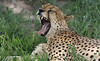 I Need A Rest ... (AnyMotion) Tags: cheetah gepard acinonyxjubatus cat cats katzen katze lying liegend relaxed entspannt yawning gähnend 2018 anymotion tarangirenationalpark tanzania tansania africa afrika travel reisen animal animals tiere nature natur wildlife 7d2 canoneos7dmarkii ngc npc