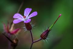 A simple purple flower (PhredKH) Tags: canon canonphotography fredkh photosbyphredkh phredkh splendid nature garden outdoorphotography gardens canoneos5dmkiii