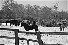 Feeding time Warne Nr Bransholme  Black and white (brianarchie65) Tags: warne bransholme eastyorkshire snow fences horses fields trees canoneos600d geotagged brianarchie65 unlimitedphotos ngc blackandwhite blackandwhitephotos blackandwhitephoto flickrunofficial flickruk flickr flickrcentral winter