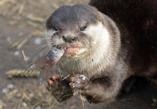 smallclawed otter Hoenderdaell BB2A4856