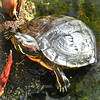 ( Out for a breather and some basking in the sun ) (Wandering Dom) Tags: turtle animal nature water pond earth multiverse time life reality dreams being nothingness roam wandering existence sulight basking breather outdoor