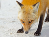 Red Fox (Brian E Kushner) Tags: yellow redfox red fox mammal vulpesvulpes foxes island beach state park islandbeachstatepark fight tussle berkeley nj new jersey nikon d4s nikond4s nature bkushner wildlife animals ©brianekushner nikon80400mmf4556gedvrafs 80400 f4556 vrii afs