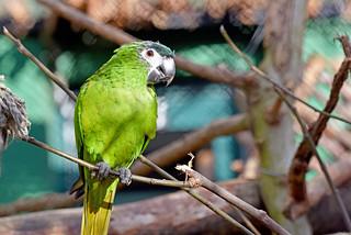 mala ara (Diopsittaca nobilis / Northern Red-shouldered Macaw / Grauschnabel-Zwergara)