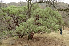 Arctostaphylos glauca, BIG BERRY MANZANITA in full bloom. (openspacer) Tags: arctostaphylos ericaceae flower manzanita shrub