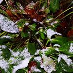 Schneerosen geblitzt thumbnail