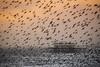 365/017 Sturnidae Sunset (Romeo Mike Charlie) Tags: starling birds murmuration sunset brighton sussex sea coast seaside pier westpier nature