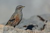 Alpine Accentor (Phil Gower Bird Photography) Tags: alpine accentor passerine