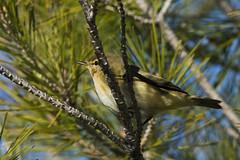 De Caza 01 (Jesus DTT) Tags: phylloscopustrochilus mosquiteromusical ornitología pájaro peralvillo willowwarbler