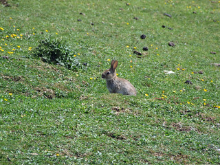 Young rabbit partly out of burrow in short turf