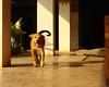 ,, Happy Young Mama ,, (Jon in Thailand) Tags: puppy happypuppy runningpuppy babymama mama youngmama puppytail puppyears puppyeyes puppynose puppypaws dog k9 thedogpalace themonkeytemple jungle deepjungle nikon d300 nikkor 175528 puppytongue morningsun shadow puppysmile smilingpuppy smile dogtail happydog runningdog littledoglaughedstories