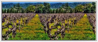 Spring Vineyard  HDR