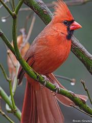 IMGP1364 (bram-sowers) Tags: redbelliedwoodpecker cardinal hairywoodpecker pentaxq pentaxqkadapter setting05 sigma500mmex45 february2018 richmondvirginia jamesriverpark