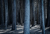 Looking for a slender man. (pikachu5actual) Tags: trees treeline nature forest hike woods