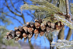 winter's wonders (i saw the Sign) Tags: pinecone pine ice winter tree icicle