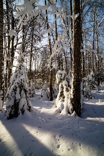 Sunny winter day in the wood covered with snow