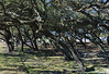 Live Oaks (Quercus virginiana) (1) (A Tidewater Gardener) Tags: oceanview norfolk virginia sarahconstantbeachpark chesapeakebay