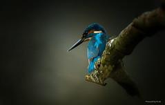 Eisvogel - Alcedo atthis - Jagend (Pana53) Tags: photographedbypana53 pana53 eisvogel alcedoatthis naturfoto vogel natur gefieder lichteinfall ast nikon nikond500 tierportrait holz fauna lebewesen