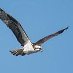 DSC_3781.jpg Osprey, San Lorenzo River, Santa Cruz thumbnail