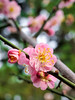 宮粉梅Plum blossoms (游萬國) Tags: plumblossoms 梅花 宮粉梅 pink