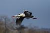 Cigogne blanche (Philippe Renauld) Tags: cigogne blanche domainedesoiseaux mazères occitanie france fr ciconia white stork