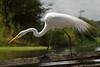 Great Egret (Scott Ableman) Tags: egret egrets greategret greategrets delfinii delfinamazoncruises delfinamazonrivercruises lindbladexpeditions
