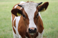 Olympic Gold Levi (excellentzebu1050) Tags: livestock dairycows cattle cow closeup outdoor farm field animalportraits animal coth5