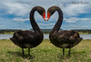 Black Swans (jasonsulda) Tags: black swans love heart lake moogerah wildlife birds fauna couple
