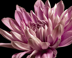 Single Pink Mum 0228 (Tjerger) Tags: nature beautiful beauty black blackbackground bloom blooming closeup flora floral flower macro mum petals pink plant portrait single white winter wisconsin natural