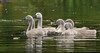 Cygnets (Andy Wakefield Photography) Tags: connaughtwater cygnets swan