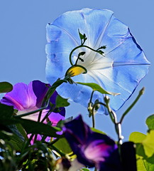 Reaching for the light (mariposa lily) Tags: flower flowers blossom blossoms bloom blooms morningglory morningglories heavenlybluemorningglory heavenlybluemorningglories garden gardening nikon nikond3300 d3300 heavenlyblue blue blueflower blueflowers vine vines