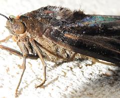 Mariposa (Moth) (Hélio Paranaíba Filho) Tags: mariposa moth lepidoptera noctuidae ascalapha saturniidae nature natureza insetos inseto insect insects bug bugs