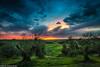 Sonnenuntergang im Olivenhain (AnBind) Tags: 2017 fotoreise ereignisse urlaub arrreisen italien cinqueterreundtoskana orte ausland pienza toscana it