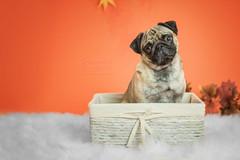 Gizmo (Patounes et Moustaches) Tags: chien dog pup puppy chiot pug carlin cute panier studio patounesetmoustaches paw orange indoor indoors white fall autumn automne pet animal photographer gizmo