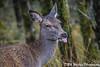How Rude (davidrhall1234) Tags: reddeercervuselaphus deer reddeer animal scotland glens outdoors nature nikon wildlife world woodland mammal portrait