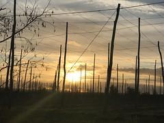 💕 Kent #hops #hop poles #hop farm #sunset #Garden of England #East Peckham #winter (Marilyn DiCara) Tags: eastpeckham january sunset gardenofengland kent hopfarm hoppole hops winter