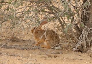 Scrub Hare/Lièvre des buissons
