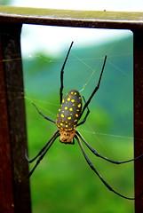 Big Spider (Girl Travel Factor) Tags: spider insect tarantula animals pets arachnids