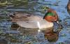 Green-winged Teal (linda long) Tags: birds greenwingedteal teals ducks dabblingduck waterbirds waterfowl drake wildlife nature oregon pacificnorthwest brownsferrypark