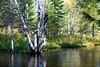 Birch On the River (Wonder Woman !) Tags: birch little river wolverinemichigan sturgeonriver ngc