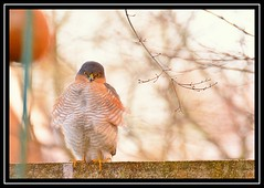 """""""Hey, Angry Bird... Let's Ruffle a Few Feathers...!"""" :-) (NikonShutterBug1) Tags: nikond7100 tamron70300mm birds ornithology wildlife nature spe smartphotoeditor bokeh sparrowhawk accipiter"""