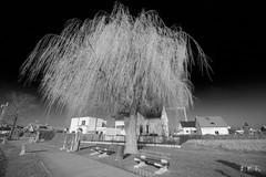20180114_113420_4K_v1 (jmi.eck) Tags: bw pentaxk1 irixblackstone15mmf24 arbre tree baum noiretblanc village alsace aficionados