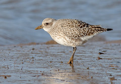 JWL0449  Grey Plover... (jefflack Wildlife&Nature) Tags: greyplover plover plovers seabirds shorebirds seashore countryside coastalbirds mudflats estuaries estuary harbours marshland marshes nature norfolk ngc npc